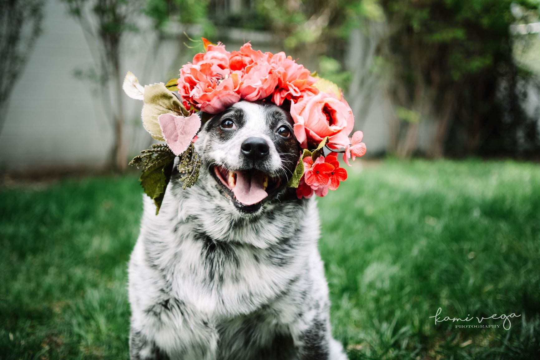 Grey and White Dog with Floral Crown at Utah Animal Adoption Center