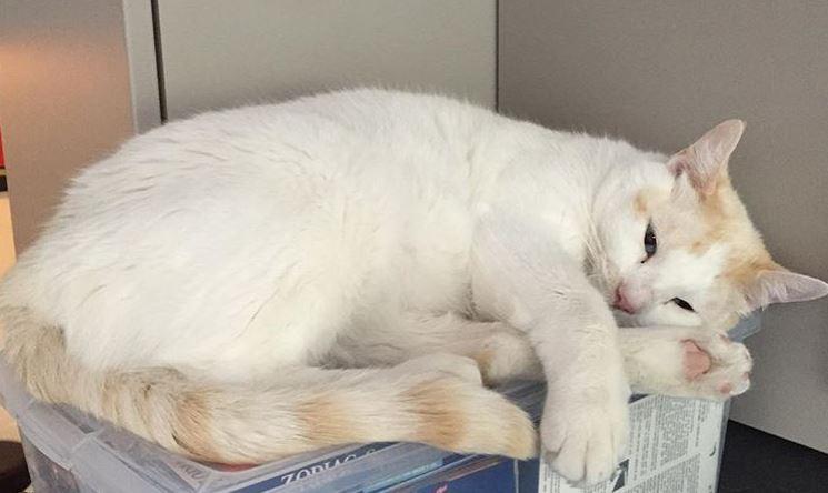 White cat at Utah Animal Adoption Center in Salt Lake City